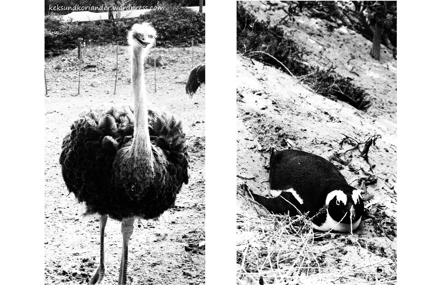 Strauß Pinguin Südafrika Gardenroute