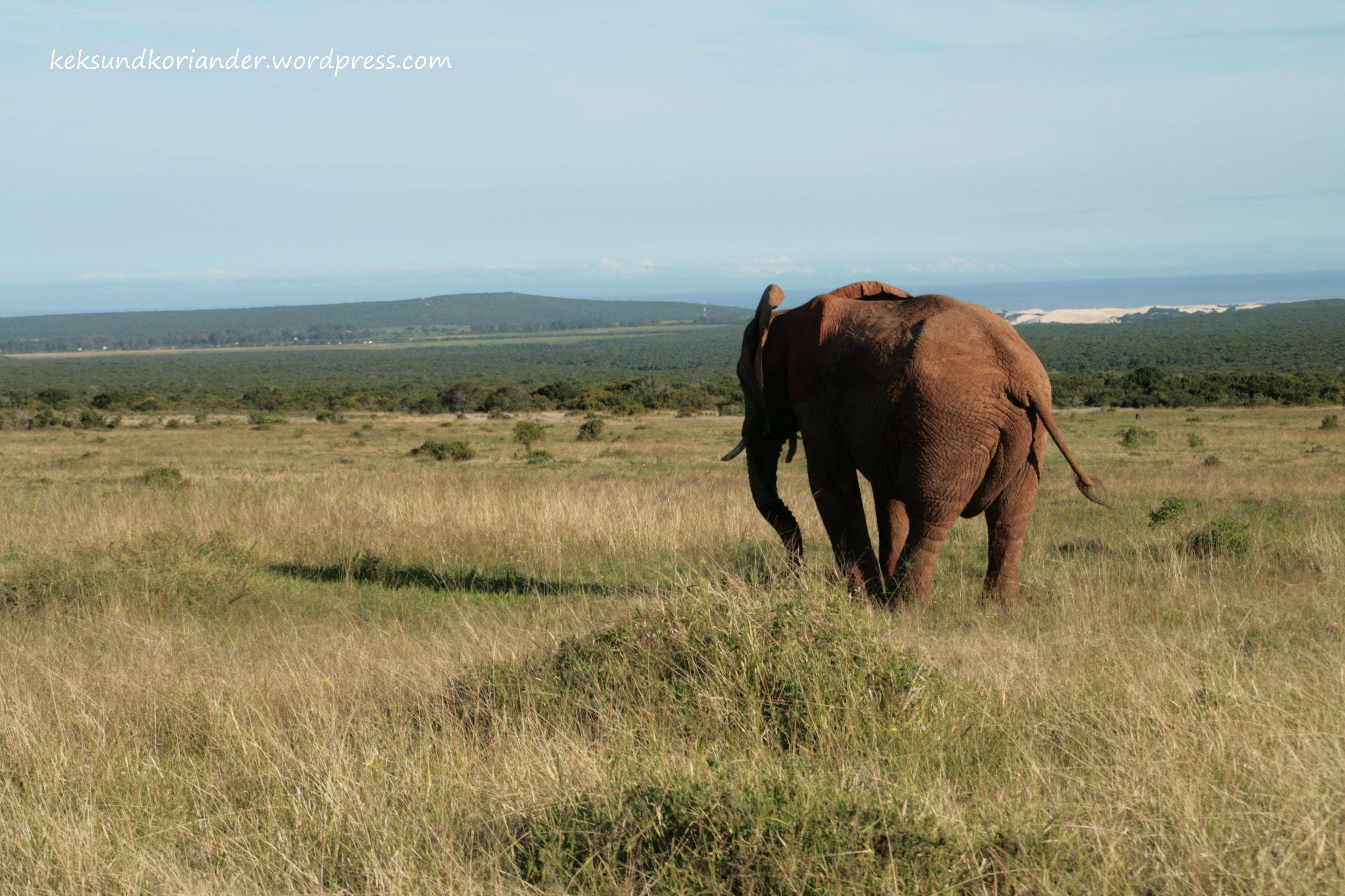 Elefant Addo Elephant National Park Südafrika
