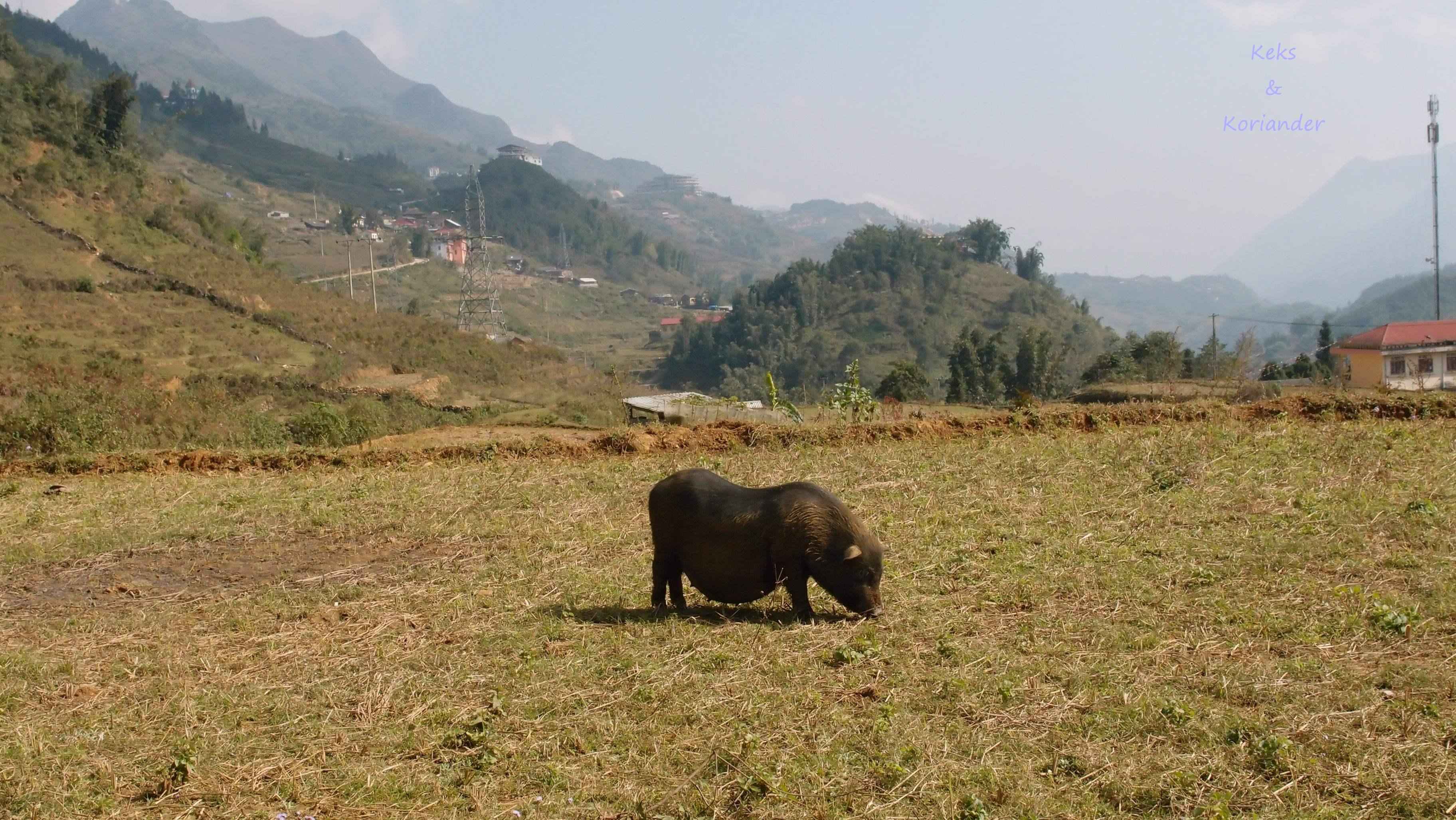 Vietnam Sapa Wandern Schwein
