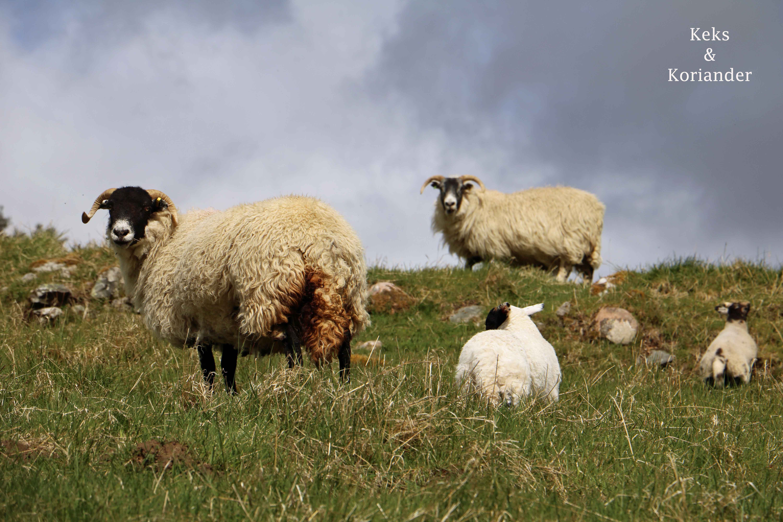 Schafe Schottland