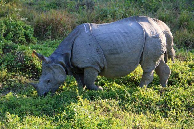 nashorn-chitwan-nationalpark-nepal