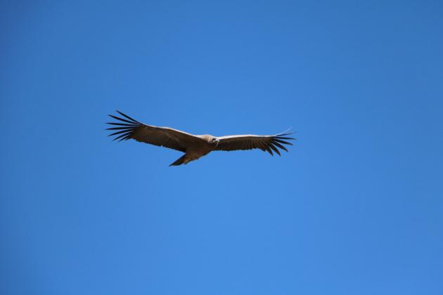 Condor, Peru, Colca Canyon